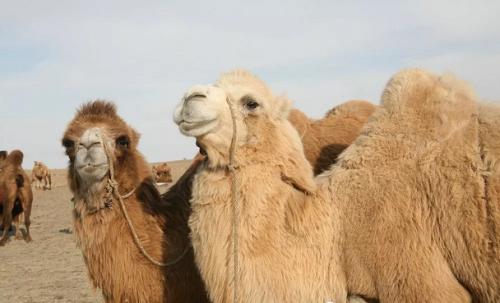 中国畜牧业协会教你选择纯正的骆驼乳产品